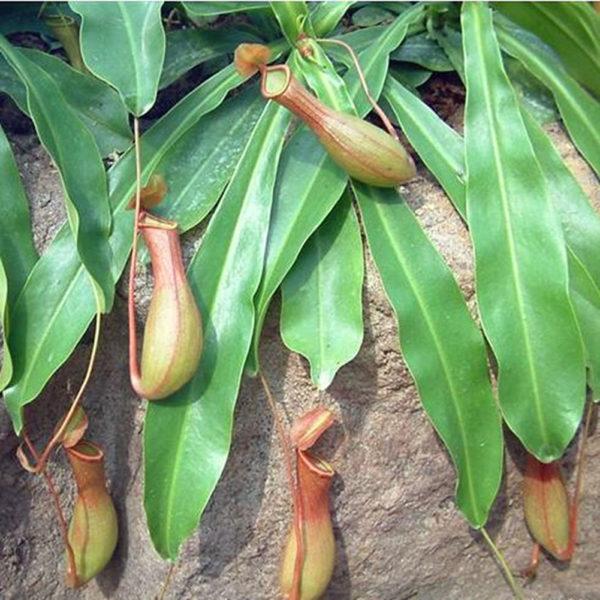 Die fleischfressende Pflanze Fallgrubenfalle