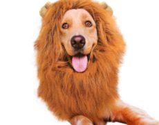Löwenmähne als Hundeschal