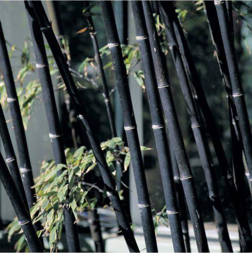 Bambussamen schwarz