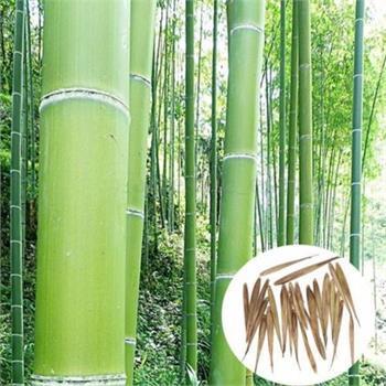 Bambussamen-Zucht