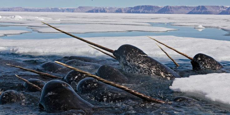 Narwal Einhorn der Meere Wal