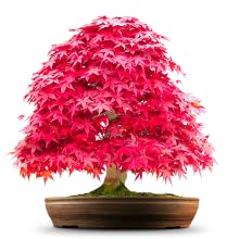 Bonsai Red Maple