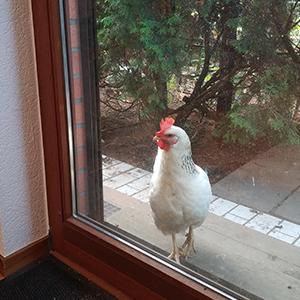 Rolfi das Huhn