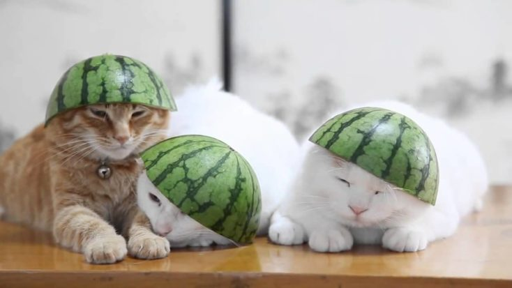 Katzen mit Wassermelonen Kopf